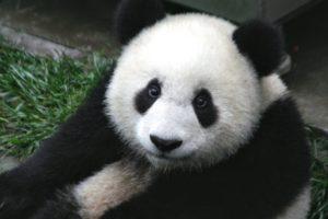Panda 4.2