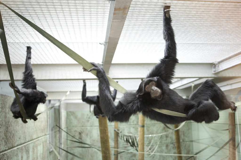 The new Siamang enclosure in Gibbon Forest,  at Twycross Zoo.  Photographs: Lucy Ray